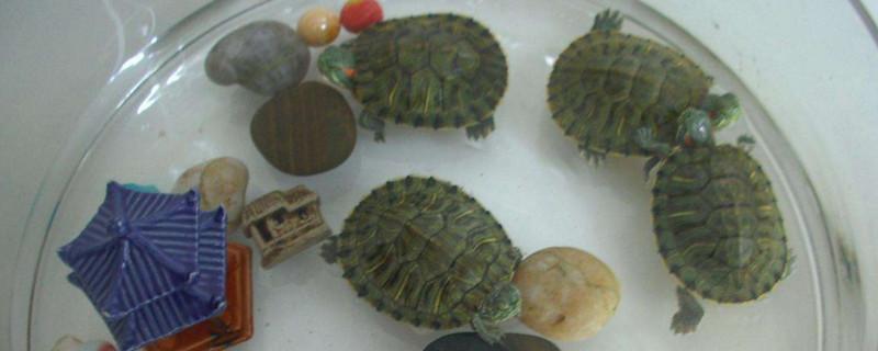 「乌龟」自来水能养乌龟吗