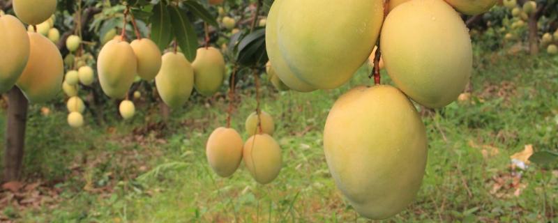 「芒果」芒果可以和牛奶一起榨汁吗