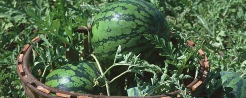 「西瓜」泡水西瓜可以吃吗