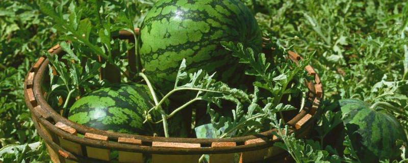 「西瓜」李子和西瓜可以同时吃吗